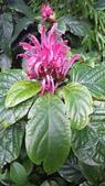 認識植物2.0 (33) 串亨伸佛克:串心花xx03.jpg