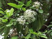 植物隨手拍 H:白仙丹花 h5944.JPG