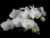 蝴蝶蘭照片欣賞 :W01-042b.JPG