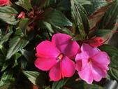 認識植物(68) 新椰椴楊楓極榆榔滇煉煙猿獅瑞:新幾內亞鳳仙花aj6185.JPG