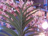 認識植物(70) 腰萬萱萼落葉葎葛葡葫葶蒂:萬代蘭dg0591.JPG