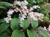 認識植物2.0 (59) 長:長柱鹿药xx01.jpg