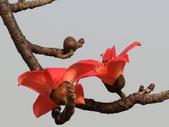 植物隨手拍 U:木棉 u5671.JPG