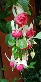 認識植物2.0 (25) 吊同向地多:吊鐘花xx02.jpg