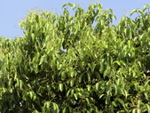 認識植物2.0 (31) 耳肉肋舌舟艾:肉桂 5924.JPG