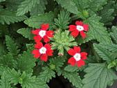 植物隨手拍 BP:美女櫻bp0128.JPG