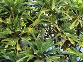 認識植物(58) 寒戟掌提散敦斐斑:戟葉變葉木cn3276.JPG