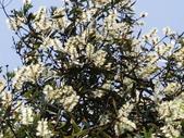 認識植物2.0 (21) 白:白千層an3650.JPG