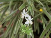 認識植物2.0 (25) 吊同向地多:吊蘭 o5288.JPG