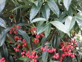 認識植物2.0 (28) 朱朴江池灰:朱砂根 n9878.JPG