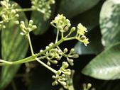 認識植物2.0 (31) 耳肉肋舌舟艾:肉桂 r4576.JPG