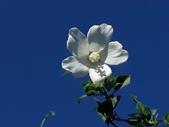 認識植物2.0 (21) 白:白木槿xx01.jpg