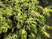認識植物2.0 (22) 皮矢石禾立:石化檜db9836.JPG
