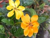 認識植物2.0 (59) 長:長花黄梔xx03.jpg
