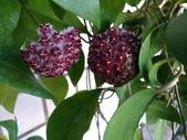 認識植物(66) 黑:黑毛棉德島毬蘭zz02.jpg