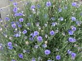 認識植物2.0 (22) 皮矢石禾立:矢車菊dr3507.JPG