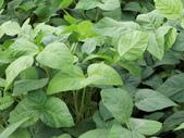 認識植物(66) 黑:黑豆dx6747.JPG