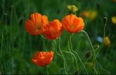 認識植物2.0 (24) 冰列印合吉:冰島罌粟xx03.jpg
