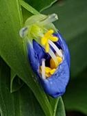 認識植物2.0 (31) 耳肉肋舌舟艾:耳葉鴨跖草xx02.jpg