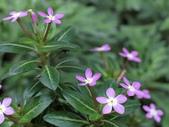 認識植物2.0 (59) 長:長春花 v5340.JPG
