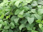 認識植物(66) 黑:黑豆dx6750.JPG