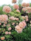 認識植物(67) 圓塊奧幹愛愷:圓球杜鵑xx03.jpg