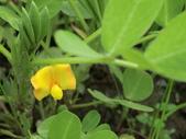 認識植物(70) 腰萬萱萼落葉葎葛葡葫葶蒂:落花生at1645.JPG