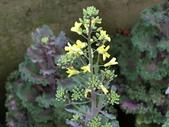 認識植物(70) 腰萬萱萼落葉葎葛葡葫葶蒂:葉牡丹bi5489.JPG