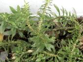 認識植物2.0 (59) 長:長柄千層塔eb7847.JPG