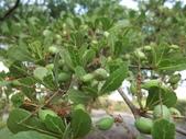 植物隨手拍 AK:細葉欖仁樹ak6306.JPG