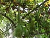 認識植物2.0 (59) 長:長柄大葫蘆dh1052.JPG