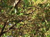 植物隨手拍 AK:細葉欖仁樹ak9952.JPG