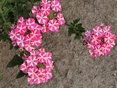 植物隨手拍 BP:美女櫻bp8959.JPG