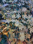 認識植物(70) 腰萬萱萼落葉葎葛葡葫葶蒂:葎草xx03.jpg