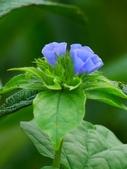 認識植物2.0 (59) 長:長梗毛蛾房藤xx03.jpg