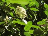 植物隨手拍 H:白仙丹花 h3068.JPG