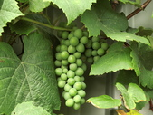 認識植物(70) 腰萬萱萼落葉葎葛葡葫葶蒂:葡萄cf1926.JPG