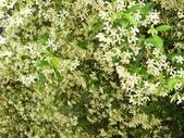 認識植物(62) 結絡絨絲腎荆菁菊:絡石籐xx01.jpg