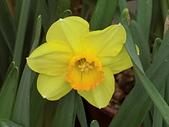 植物隨手拍 BP:西洋水仙bp5139.JPG