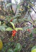 認識植物2.0 (30) 米羊羽老考:羊角藤xx02.jpg