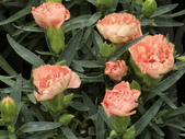 植物隨手拍 X:康乃馨 x308.JPG