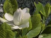 植物隨手拍 AM:玉堂春am0859.JPG