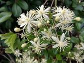認識植物(57) 鹿麥麻傅傘博喜喬單報壺富:麥氏鐵線蓮xx01.jpg