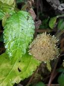 認識植物2.0 (59) 長:長梗盤花麻xx01.jpg