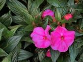 認識植物(68) 新椰椴楊楓極榆榔滇煉煙猿獅瑞:新幾內亞鳳仙花aj8316.JPG
