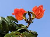 植物隨手拍 Q:火焰木 q0756.JPG
