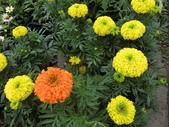 植物隨手拍 X:萬壽菊 x6238.JPG