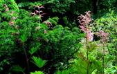 認識植物(58) 寒戟掌提散敦斐斑:掌葉大黃xx02.jpg