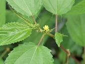 認識植物2.0 (59) 長:長蒴黃麻dg8661.JPG