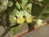 植物隨手拍 J:巴西胡椒木 j5226.JPG